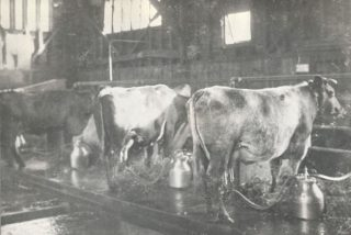 Cows being milked in the barn.