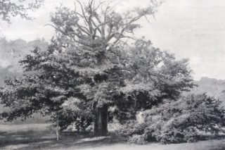 Panshanger Oak 1895 | Suppliment to The Gardners Magazine 12 Oct 1895, Hertfordshire Archives and Local Studies pamphlet files