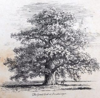 Panshanger Oak undated | Hertfordshire Archives and Local Studies library image collection