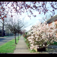 Magnolia in bloom at the north end of Guessons Road.