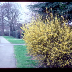 First blossom of Spring? Forsythia in Handside Road, just above the Youngs Rise cross roads.